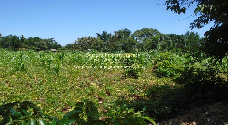 HALF ACRE PLOT FOR SALE AT BUKAYA NJERU MUNICIPALITY